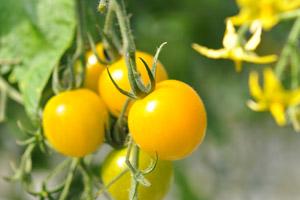 ミニトマト黄:イエローミミ