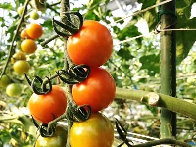 ミニトマトオレンシ:オレンジ千果